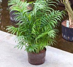 Хамедорея - пальма без примхливого вдачі