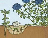 Розмноження гортензії крупнолістной відводами