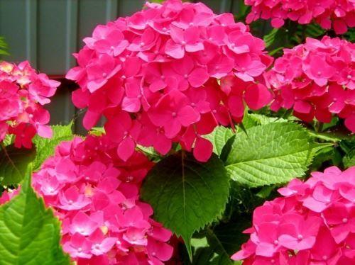 Квіти садової гортензії