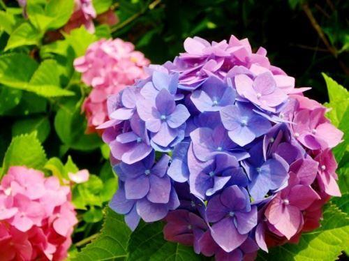 Квіти яскраво-рожевою з фіолетовою пігментацією
