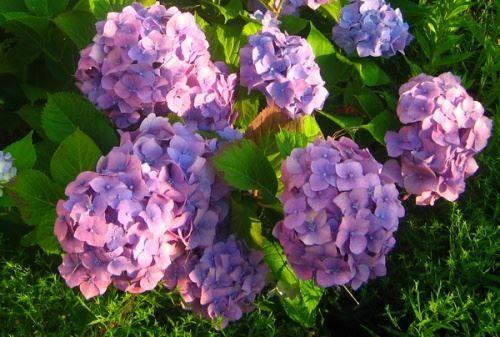 Гортензія - невибаглива розкіш літнього саду