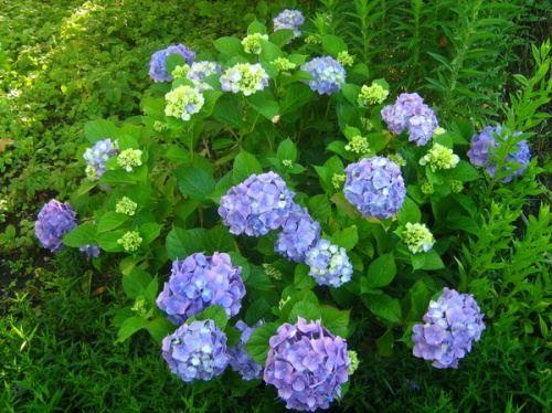 Гортензія - розкішний садовий чагарник