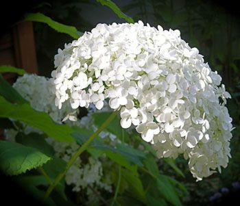 Гортензія садова і догляд за нею