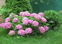 Гортензія садова: посадка і правила формування пишних суцвіть