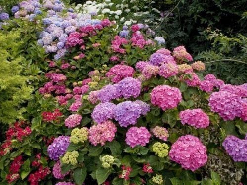 Гортензія в саду - це буйство фарб