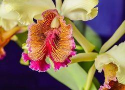 Витончена орхідея каттлея в домашньому квітникарстві