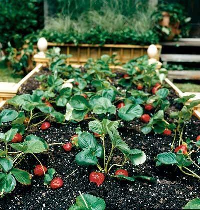 Грядки для полуниці і особливості її вирощування