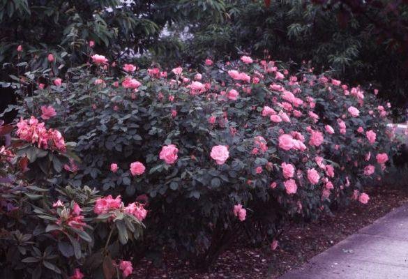Групова посадка троянд
