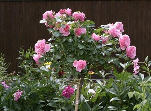 Роза, штамбові форма