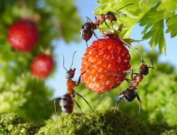 Гуманні методи боротьби з мурахами на дачній ділянці