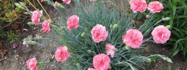 Гвоздика багаторічна травянка: опис, розмноження, догляд, посадка, застосування в саду, фото, сорти і види