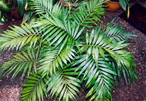 Хамедорея - рід пальм для будинку