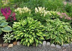 Хоста - рослина для зайнятих дачників