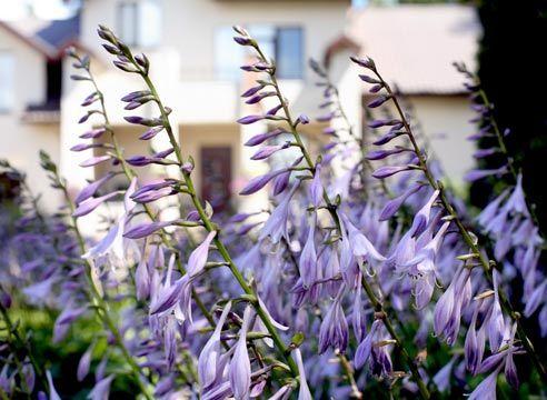 Хоста, цвітіння, Hosta