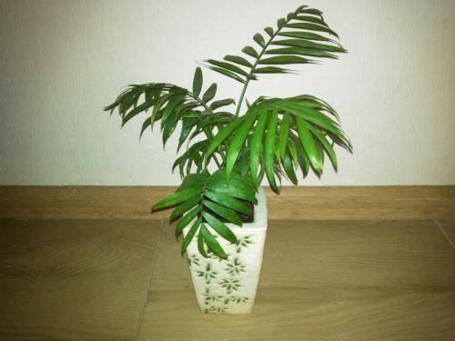 Хрізалідокарпус - пальма арека