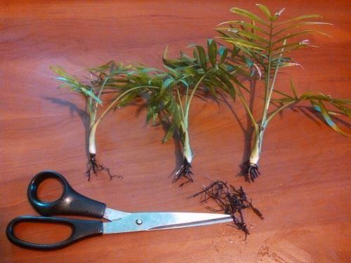 Обрізаємо кінчики коренів