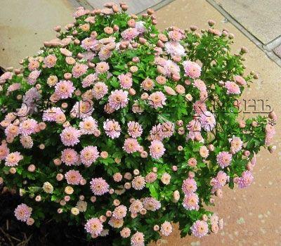 Хризантема кущова садові