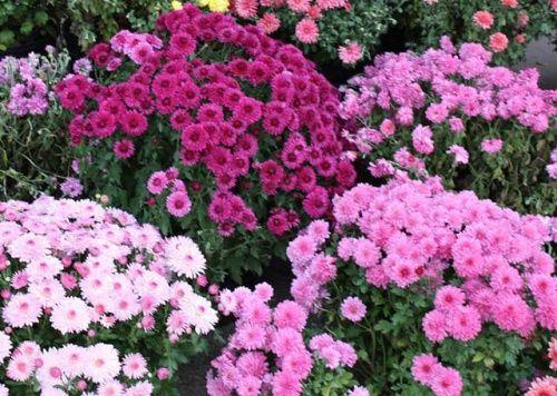 Хризантема садова мелкоцветковая: посадка і догляд