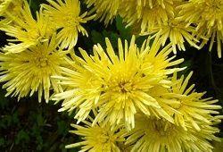 Хризантема: символіка граціозно квітки
