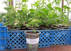 хризантеми з насіння