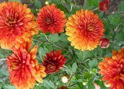 Хризантеми на садовій ділянці: посадка і догляд