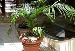 ховея пальма