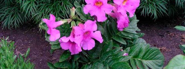 Інкарвіллея: опис, розмноження, догляд, посадка, застосування в саду, фото, сорти і види