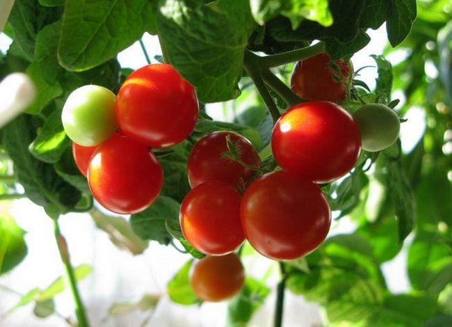 Цікавий спосіб вирощування розсади томатів без землі