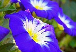 Іпомея пурпурна для балконів, терас та саду