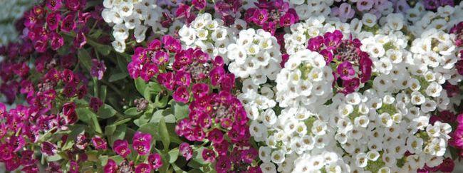 Ірідодікціум: опис, розмноження, догляд, посадка, застосування в саду, фото, сорти і види