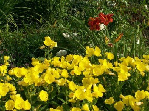 Використання однорічників в дизайні саду