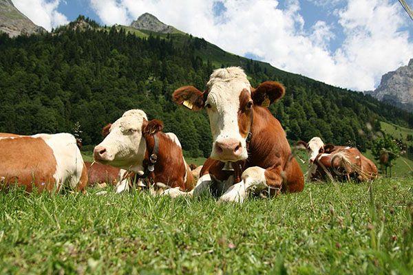 Вивчаємо породи корів по фото і описами