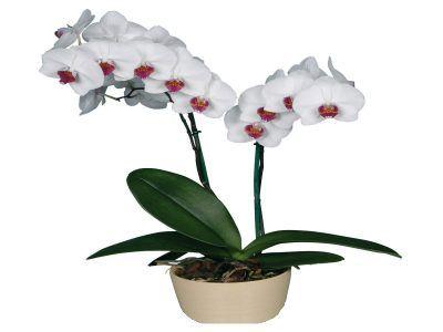 Янтарна кислота для орхідей, застосування