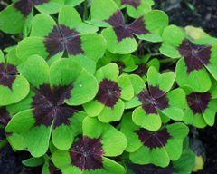 Яскраві і барвисті трикутні листочки - це фото кислиці!
