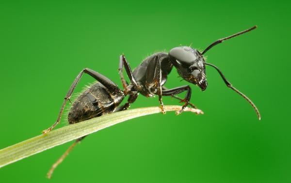 Ефективна боротьба з мурахами на садовій ділянці