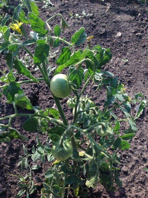Експеримент з помідорами йде повним ходом!