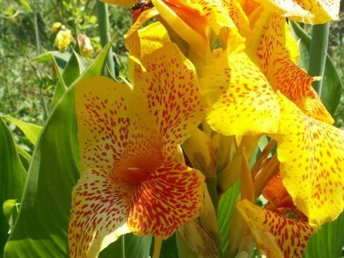 Екзотична рослина канни