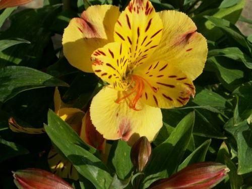 Альстремерія квітка