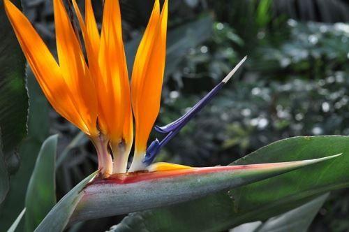 Стрелиция королівська - екзотична квітка