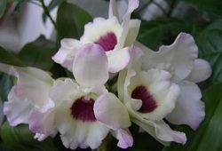 Екзотичний дендробіум нобілі - орхідея з характером