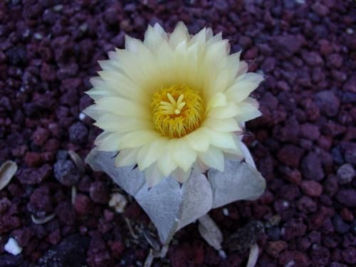 Елегантний білий кактус в будинку