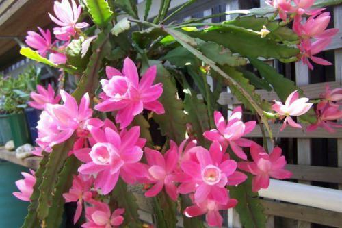 Епіфіллюм - красиво квітучий кактус в вашому домі