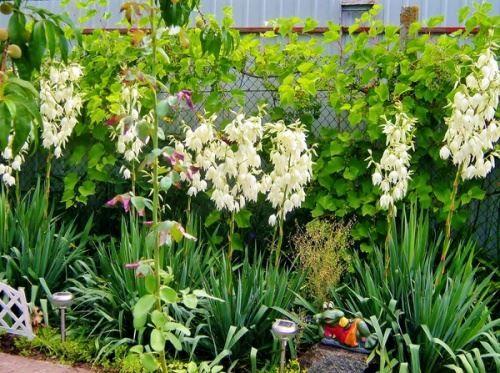 Юкка садові - невибаглива южанка