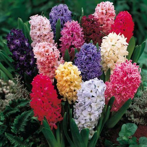 Як квіти гіацинти вирощують в різних умовах