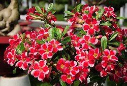 адениума квітка