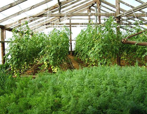 Вирощування кропу в теплиці