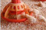 годування курчат в 2 місяці