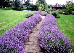 Лаванда для садового декору: посадка і догляд у відкритому грунті
