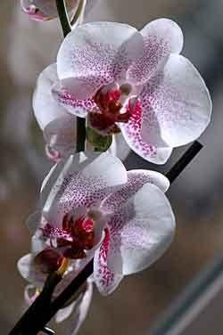 Як орхідеї