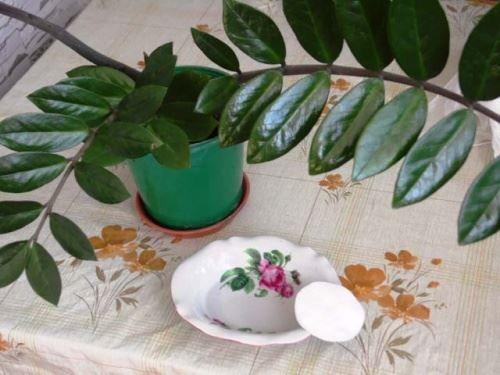 Як доглядати за листям заміокулькаса